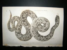 Shaw C1810 Antique Print. Constrictor Boa